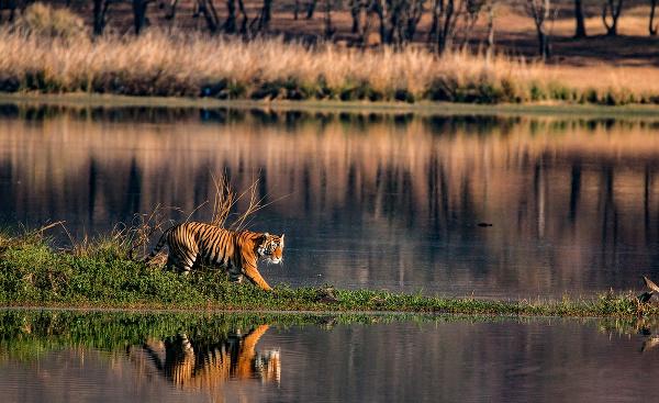Tiger v indickom Madhjapradéše