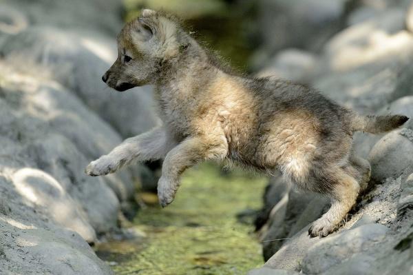 Mláďa vlka sibírskeho