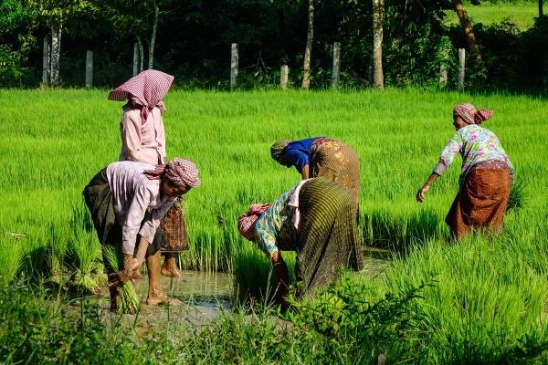 Práca na ryžovom poli