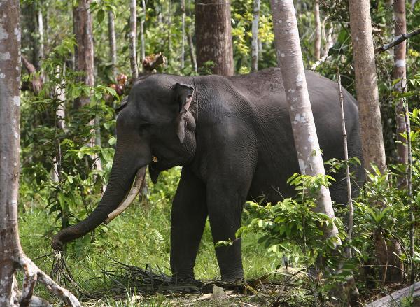 Slon sumatriansky
