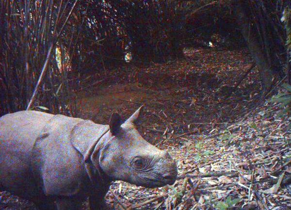 Nosorožec jávsky
