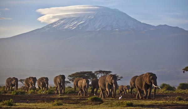 Slony pred Kilimandžárom