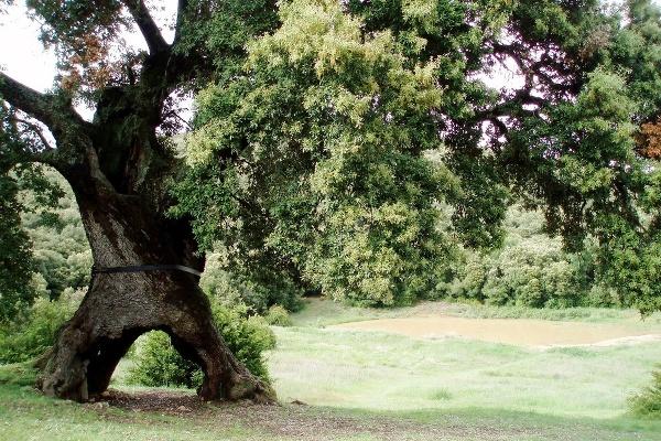 Trojnohý dub, Španielsko