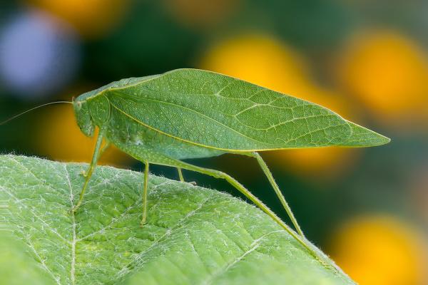 Listovka zelená
