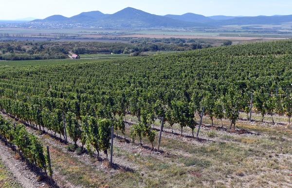 Vinohrad pri obci Malá