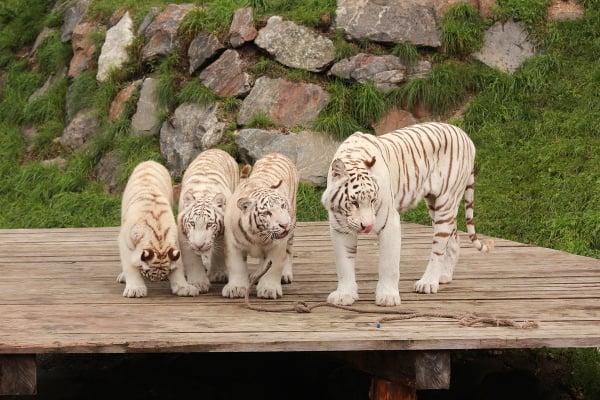 Biele tigre v zoo