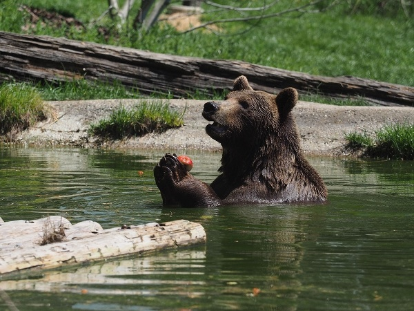 Medvede v prírodnom lese