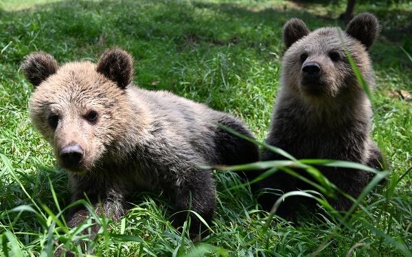 Polročné mláďatá medveďa hnedého