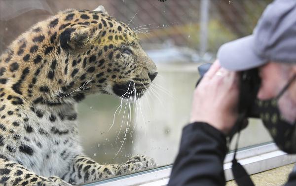 Leopard čínsky v košickej