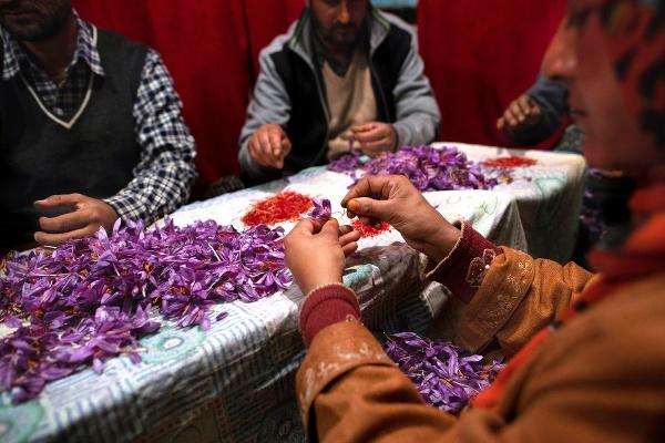 Zber šafranu v Kašmíre