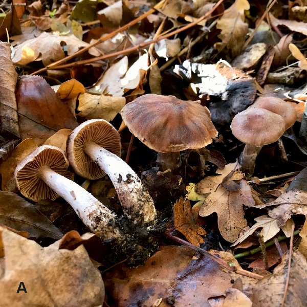 Cortinarius heatherae