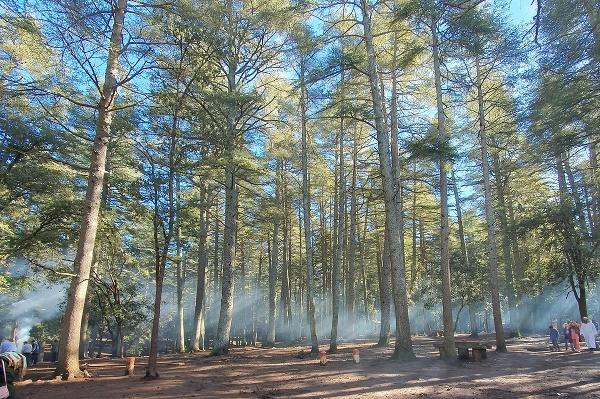 Cédrový les