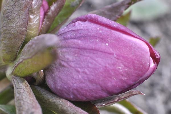 Čemerica purpurová