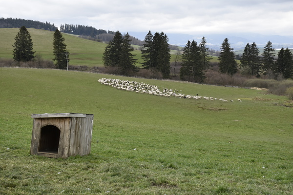 Liptáci vyhnali ovce na