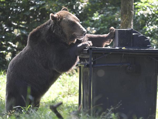 Medveď hnedý testuje novú