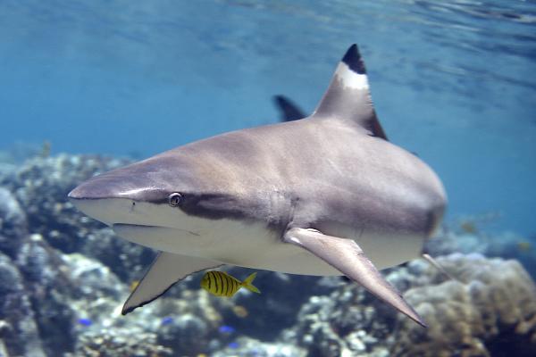 Žralok čiernocípy