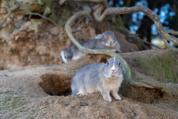 Zajačí ostrov Okunoshima, Japonsko