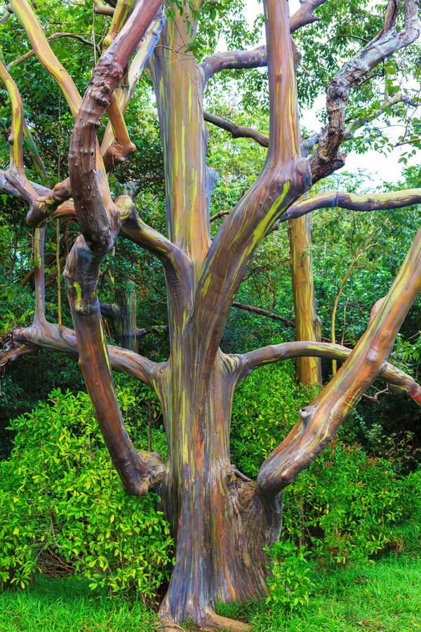 Eukalyptus dúhový