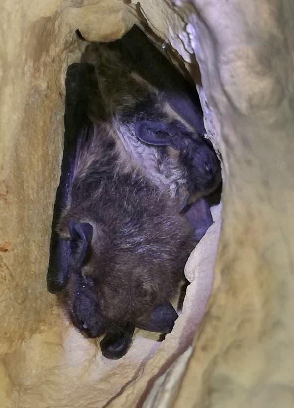 Dvojica netopierov, hore druh