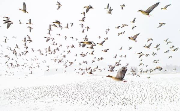 Zimné stretnutie husí krátkozobých