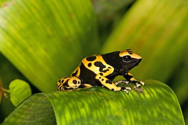 Šípová žaba