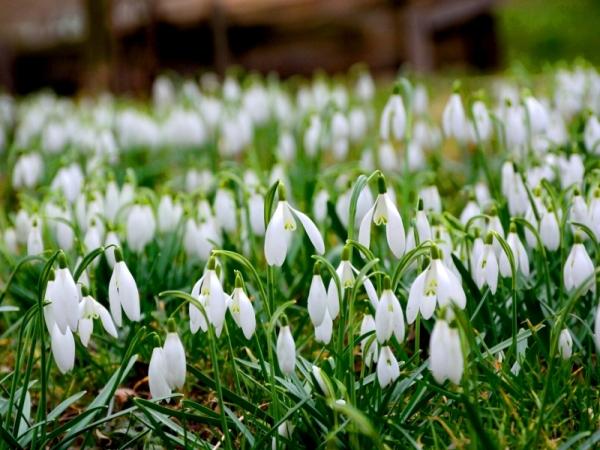 Kvitnú snežienky