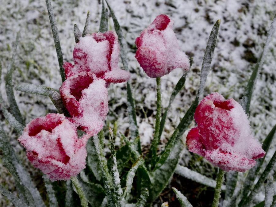 Snehová pokrývka prekvapila tulipány.