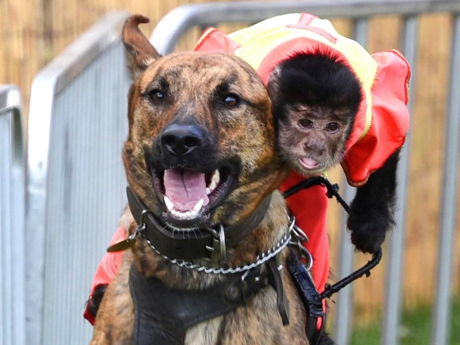 Preteky opice so psom