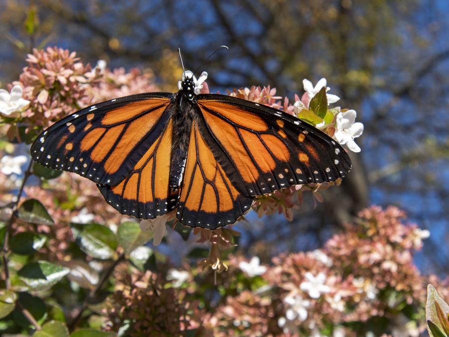 Motýľ, ktorý je monarcha