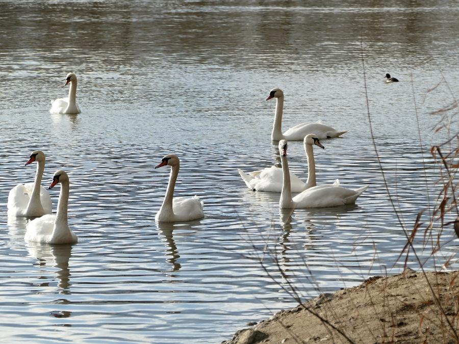 Kŕmenie labutí