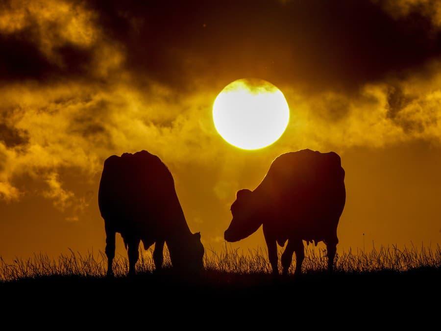 Kravy pri západe slnka