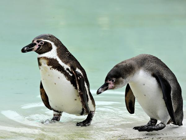 Tučniaci v košickej ZOO