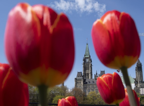 Kvitnúce tulipány