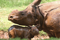 Mláďa nosorožča