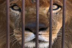 Pohľad na leva zachráneného z cirkusu