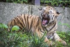 Mláďa tigra sibírskeho