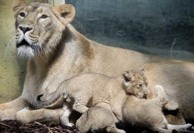 Levie mláďatá s mamičkou