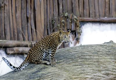 Leopard cejlónsky