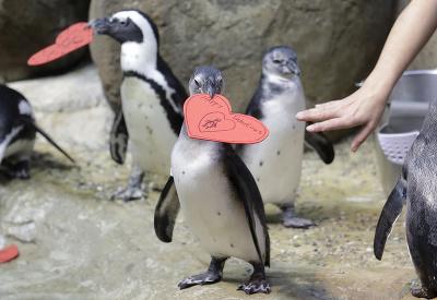 Aj tučniaci majú Valentín