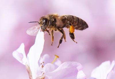 Stromy sú v rozkvete, včielky majú raj