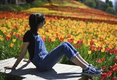 Tulipány v rozkvete