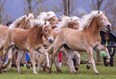 Haflingerské kone sa prvý krát prebehli