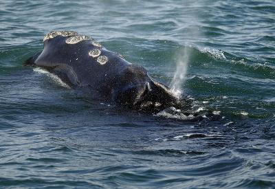 Majestátna veľryba čierna