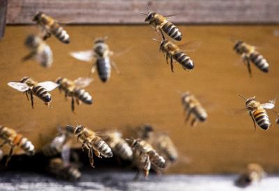 Včielky sa poberajú domov