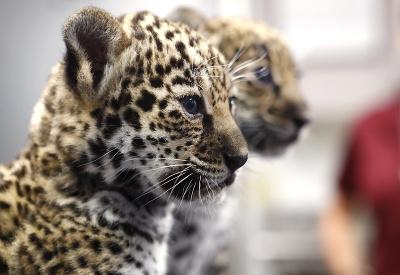 Rozkošné mláďatá jaguára