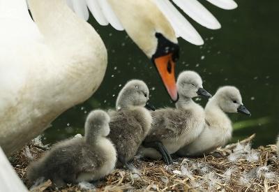 Aj z nás raz budú krásne labute