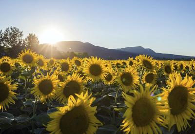 Žltá nádhera