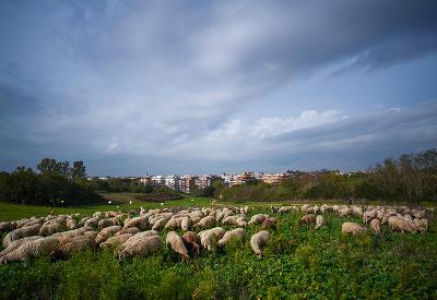 Spokojné ovečky