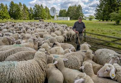 Ráno pri ovciach