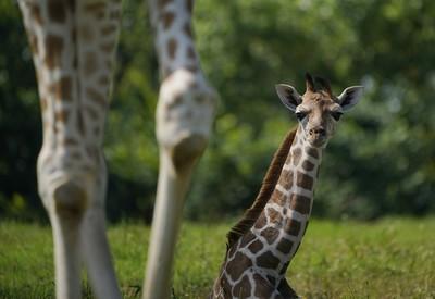Žirafie mláďa